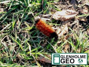 Glenholme GEO Woolly Bear